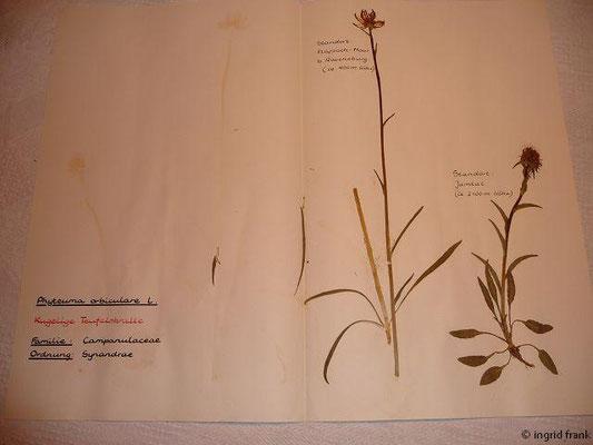 (123) Phyteuma orbiculare - Kugelige Teufelskralle