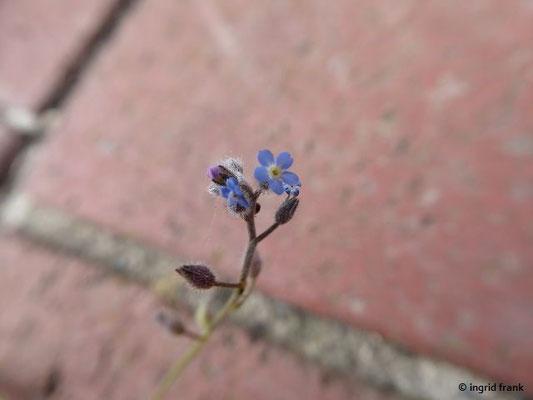 Myosotis ramosissima - Raues Vergissmeinnicht