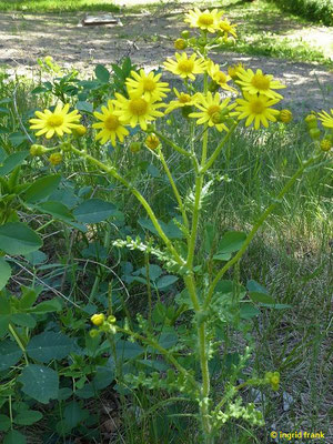 Senecio vernalis - Frühlings-Greiskraut