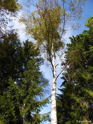 Betula pendula, Hänge-Birke, Gewöhnliche Birke