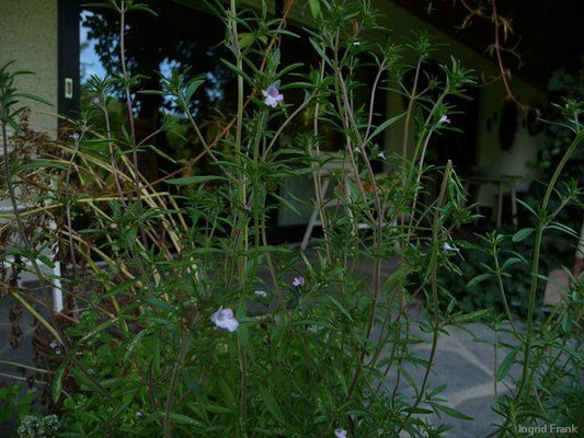 15.08.2010-Satureja hortensis - Echtes Bohnenkraut, Sommer-Bohnenkraut