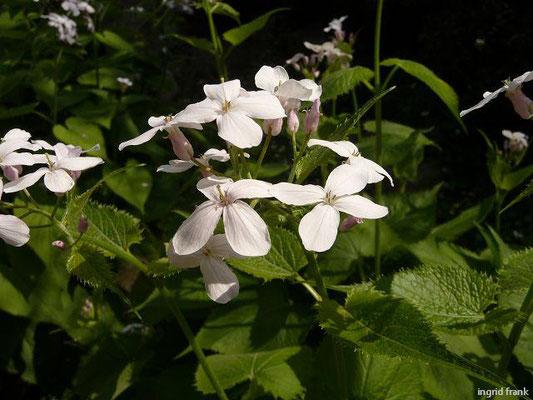 Lunaria rediviva - Ausdauerndes Silberlbatt