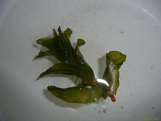 18.08.2013-Potamogeton perfoliatus  - Durchwachsenes Laichkraut (im Bodensee gefunden im Freibad Lindenhof Bad Schachen)