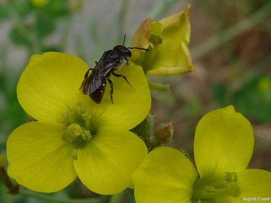 "20.06.2011-Diplotaxis tenuifolia - Schmalblättriger Doppelsame, ""Rucola"""