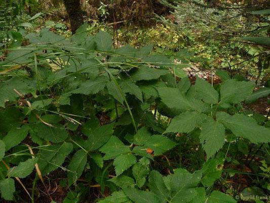 Aegopodium podagraria - Gewöhnlicher Giersch, Geißfurß