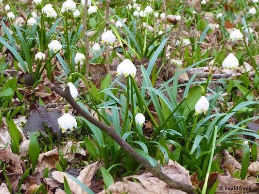 Leucojum vernum / Märzenbecher, Frühlings-Knotenblume