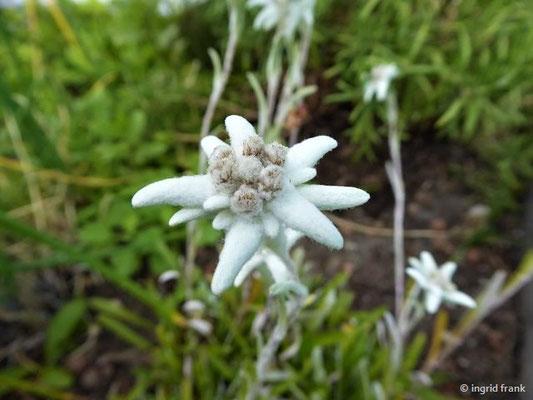 Leontopodium alpinum - Alpen-Edelweiß (angepflanzt in Saas Fee, Wallis)