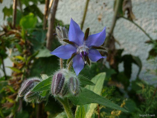 Borago officinalis - Boretsch