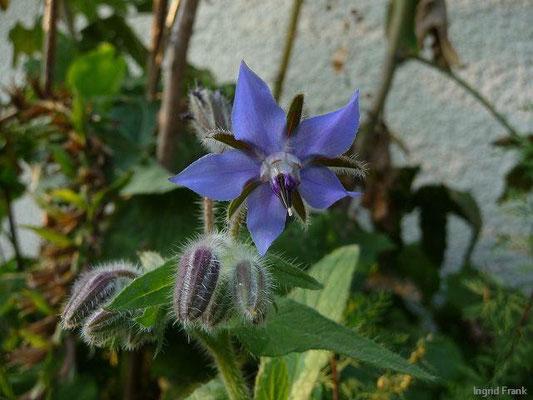 Borago officinalis - Boretsch