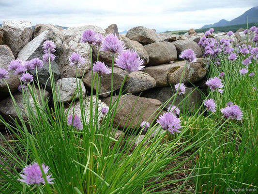 Allium schoenoprasum / Schnitt-Lauch
