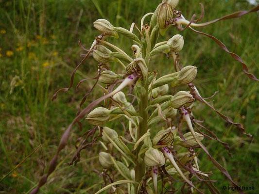 Himantoglossum hircinum - Bocks-Riemenzunge