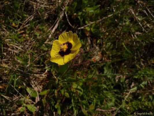 Tuberaria guttata - Geflecktes Sandröschen