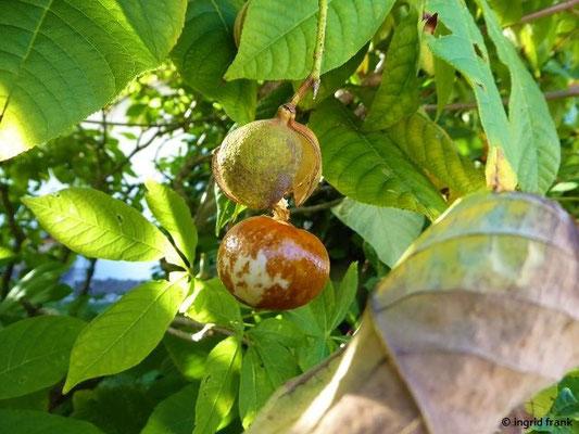 Aesculus pavia - Echte Pavie, Rote Rosskastanie