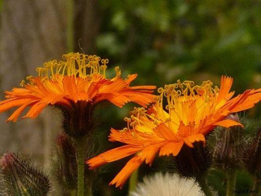 Hieracium aurantiacum - Orangerotes Habichttskraut