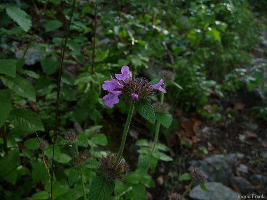 Calamintha clinopodium / Wirbeldost