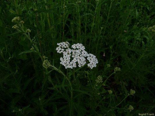 18.06.2010-Achillea millefolium - Wiesen-Schafgarbe