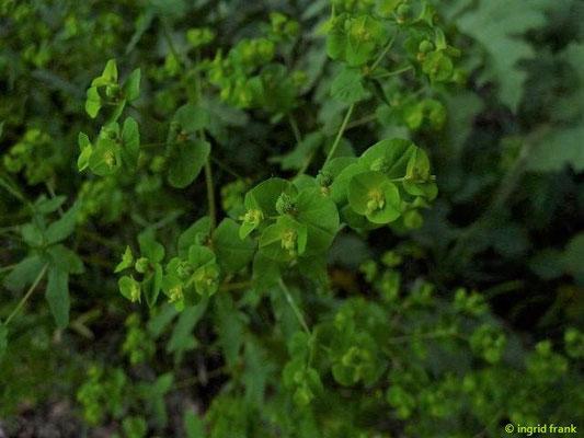 Euphorbia platyphyllos - Breitblättrige Wolfsmilch    VII-VIII