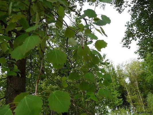 24.04.2012-Populus tremula - Espe, Zitter-Pappel