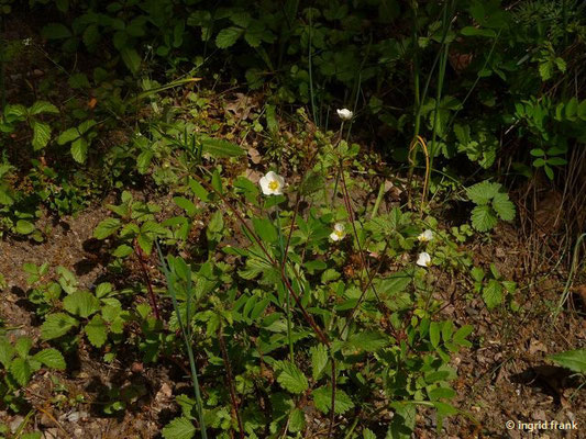 Drymocallis rupestris - Steinfingerkraut