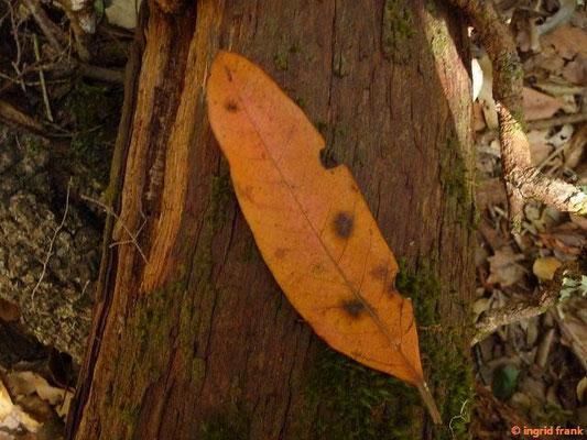 Persea indica - Indische Persea