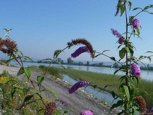 Buddleja davidii - Schmetterlingsstrauch, Gewöhnlicher Sommerflieder