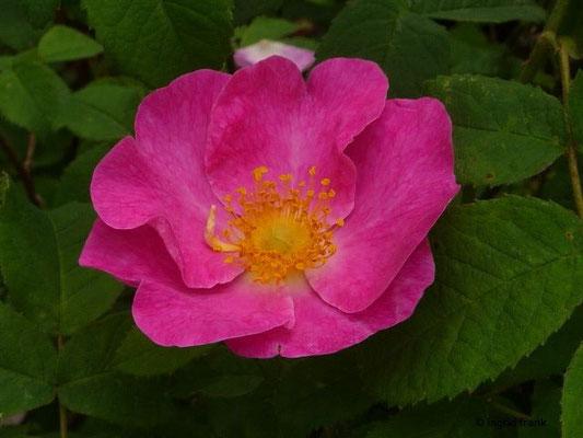 Rosa gallica - Essig-Rose (Botanischer Garten Universität Heidelberg)