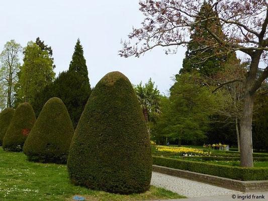 Taxus baccata - Europäische Eibe (mit Formschnitt im Stadtgarten)