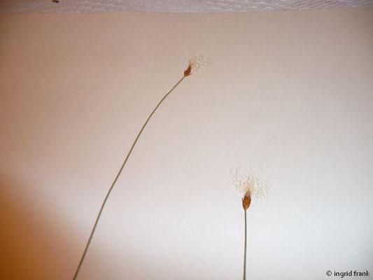 Trichophorum alpinum - Alpen-Haarsimse