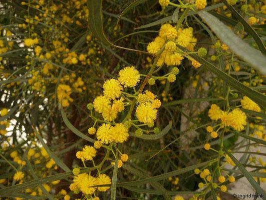 Acacia saligna - Weidenartige Akazie (Türkische Ägäis)