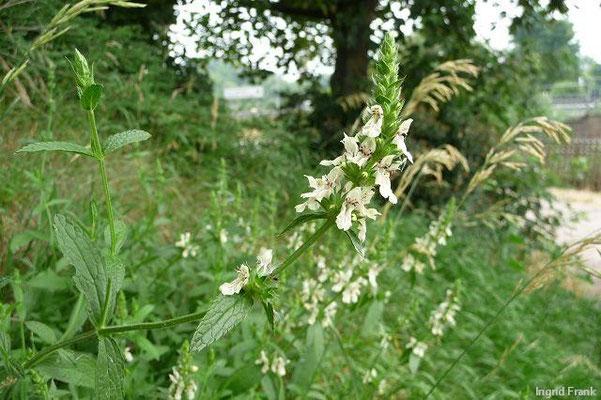 04.07.2010-Stachys recta ssp. recta - Gewöhnlicher Aufrechter Ziest