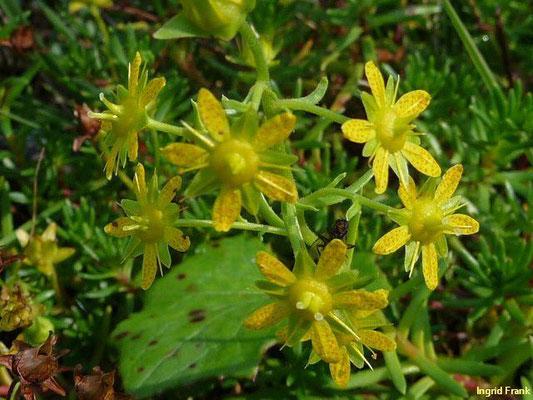 Saxifraga spec. / Steinbrech-Arten