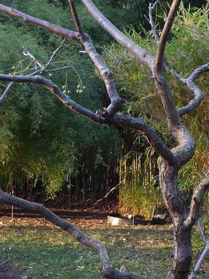 Melia azedarach - Indischer Zederachbaum (Botanischer Garten Universität Heidelberg)