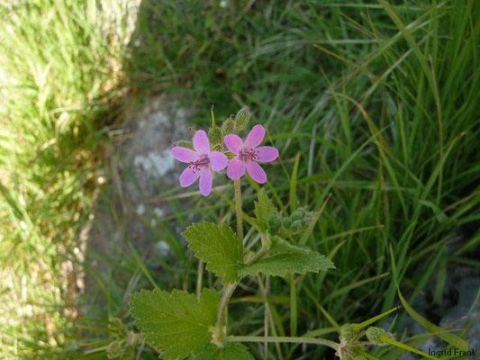 Erodium malacoides - Malvenblättriger Reiherschnabel
