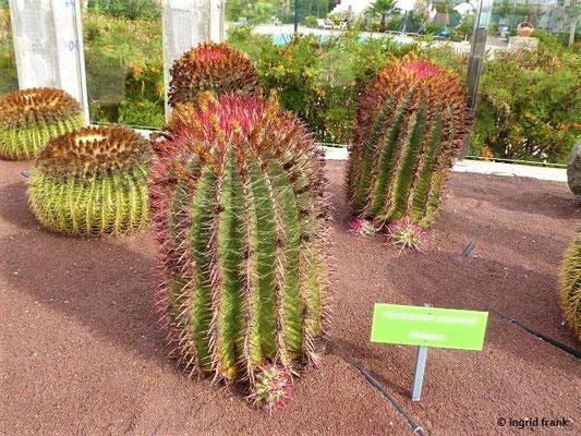 Ferocactus pilosus (Heimat: Mexiko)