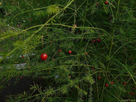 BEEREN GIFTIG:   Gemüse-Spargel / Asparagus officinalis   (10.09.2010)