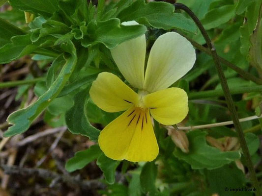 Viola lutea / Vogesen-Stiefmütterchen    VI-VIII