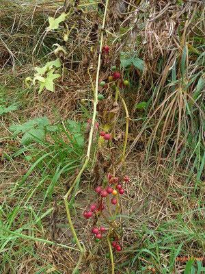 Bryonia dioica - Rotbeerige Zaunrübe