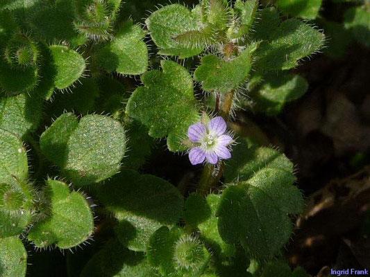Veronica hederifolia ssp. hederifolia / Gewöhnlicher Efeublättriger Ehrenpreis