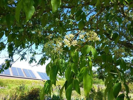 Tetradium daniellii - Bienenbaum, Samthaarige Stinkesche (Syringa Kräutergarten in Hilzingen)