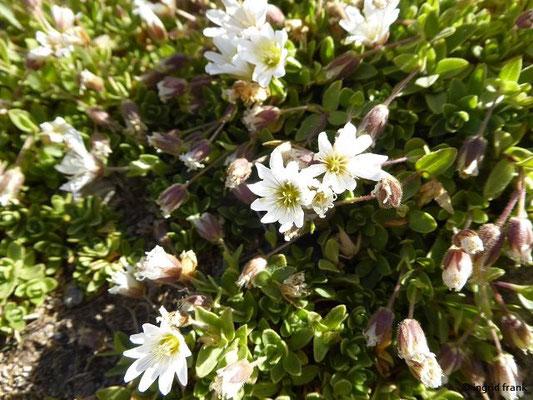Cerastium uniflorum - Einblütiges Hornkraut    (VII-VIII)