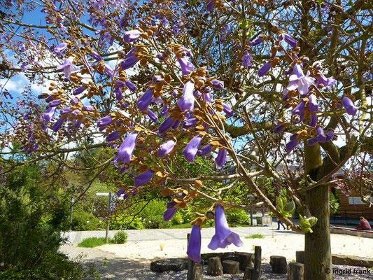 Paulownia  tomentosa - Kaiser-Paulownie, Blauglockenbaum
