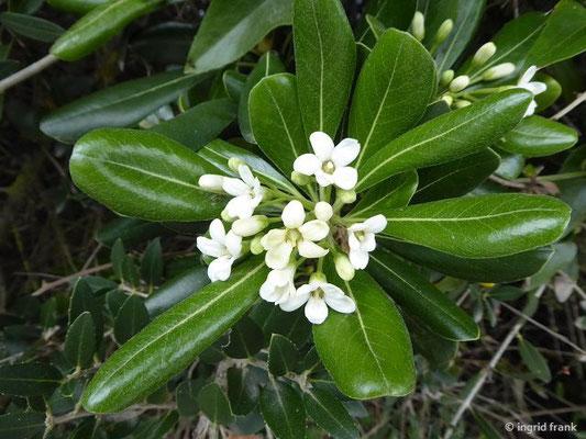 Pittosporum tobira - Chinesischer Pechsamenstrauch, Klebsame (Toskana)