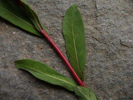 Salix purpurea / Purpur-Weide    III-IV