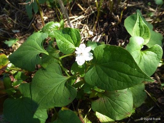 Houttuynia cordata - Chamäleonpflanze (Syringa Duftgarten in Hilzingen)