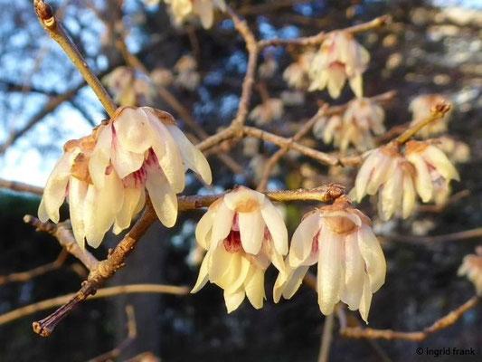 Chimonanthus praecox - Winterblüte, Wintersüß (Botanischer Garten Universität Heidelberg)