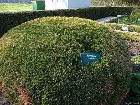 Juniperus sabina / Sadebaum, Stink-Wacholder (Heilkräutergarten im Kurpark Bad Wörishofen)