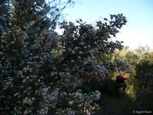 Erica arborea - Baumheide