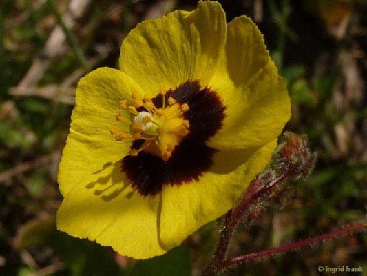 Tuberaria guttata - Geflecktes Sandröschen (Griechenland)