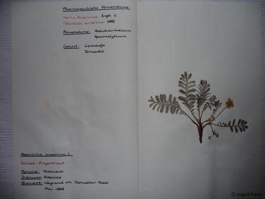 (22) Potentilla anserina - Gänse-Fingerkraut