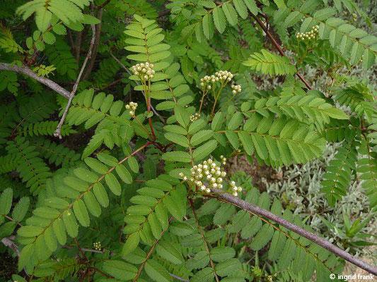 Sorbus fruticosa  (Botanischer Garten Berlin)